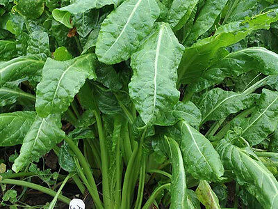 SPINACH 'Perpetual' 50 seeds vegetable garden