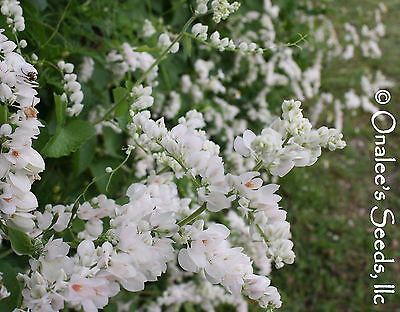 18+ RARE WHITE ALBA Coral Vine Seeds VIGOROUS BLOOMER. Bees and butterflies LOVE