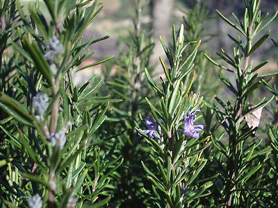 ROSEMARY20 seeds Herb culinary flower repels moths open polinated