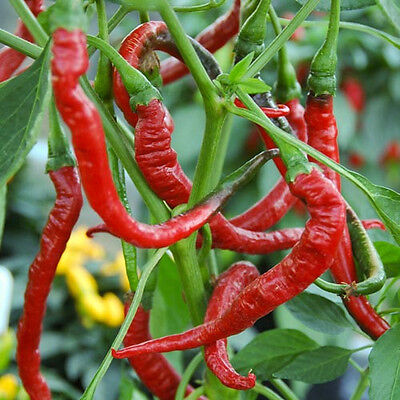 CHILLI  'Long Red Cayenne'  20 seeds Culinary vegetable garden