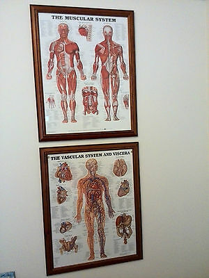 2 X FRAMED: Male Muscular System Anatomical Chart + Vascular System and Viscera