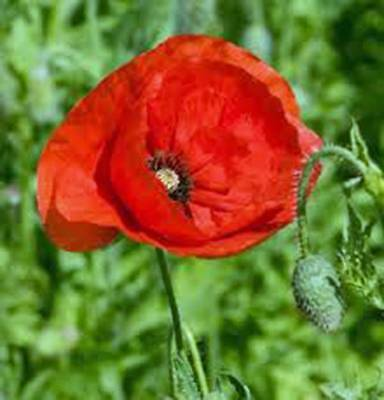 Poppy, Flanders, 100+ Seeds, Organic, Stunning Bright Red Flower, Great Poppies