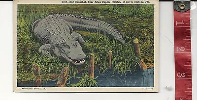 Vintage linen Post Card Old Cannibal Aligator Silver Springs  Fl.  FREE SHIPPING
