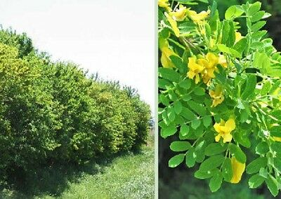 Siberian Weeping Pea shrub seeds buy 2 get 1 free limited time fast growing