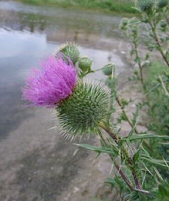 Bull Thistle Seeds  50 Buy 2 Get 1 free limited time! perennial  plant is edible