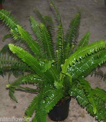 KIMBERLY QUEEN FERN or AUSTRALIAN SWORD FERN:MATURE PLANTS/FERNS: 1 GALLON POT!