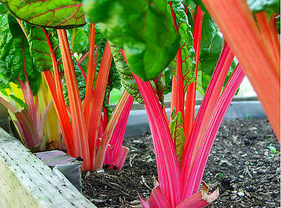 SILVERBEET Bright mixed colours 40 seeds unusual vegetable garden