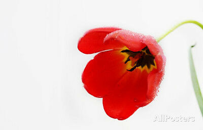 Tulip (Red, Morning Dew) Art Poster Print Poster, 13x19