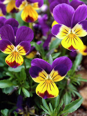 "HEARTSEASE ""johnny jump up"" 75 seeds edible flower cottage  garden"