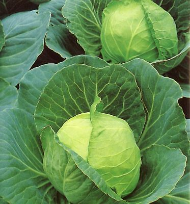 CABBAGE 'Golden Acres' 150 seeds vegetable garden