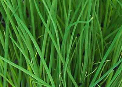 CHIVES 100 seeds vegetable herb garden flower