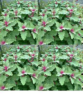 TREE SPINACH 60 seeds vegetable garden