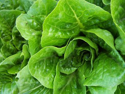 Lettuce Green Cos 250 seeds vegetable garden Heirloom