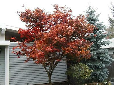 maple, RED JAPANESE MAPLE tree, or bonsai, 15 SEEDS! GroCo