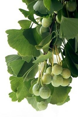 Ginkgo biloba (Maidenhair Tree)  - 5 seeds - Easy to Grow Bonsai Favourite