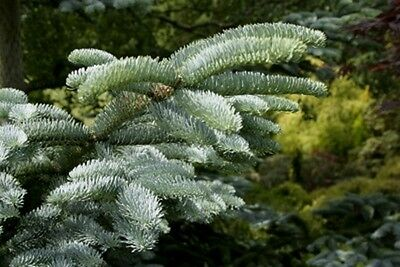 Abies procera [syn. nobilis] (Noble Fir)  Great for Christmas trees - 25 seeds.