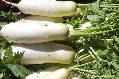 RADISH DAIKON long 60 seeds vegetable garden NON GMO open polinated