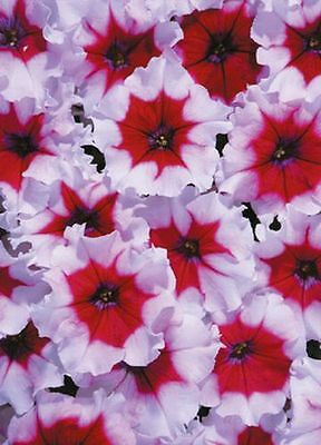Petunia Celebrity Burgundy Frost Annual Seeds