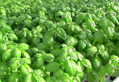 Sweet Genovese basil  500 seeds Heirloom Herb great for Pesto CombSH H44