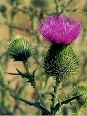Bull-Thistle-Perennial Wildflower 10-100 Seeds buy 2 get 1 free  edible 2017
