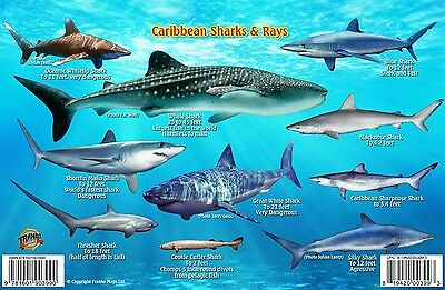 Caribbean Sharks & Rays Guide Laminated Fish Card by Franko Maps