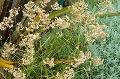Luzula nivea (Snowy Woodrush) - 30 seeds. Evergreen Rush with White Flowers.