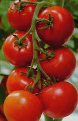 Organic Heirloom non-gmo Tomato-Money Maker 25+ Seeds Very  Productive