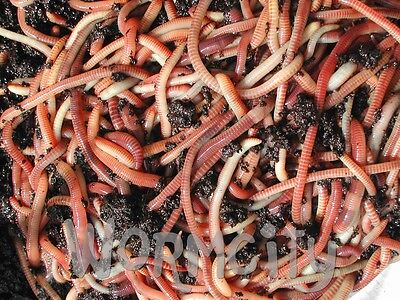 Dendrobaena Fishing Worms Compost, Wormeries Reptile Live Food Bait 30g-1 Kg