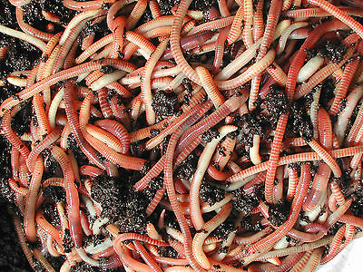 Tiger Composting Worms 50 g  For Fishing / Wormery / Wormeries / Reptiles / Soil
