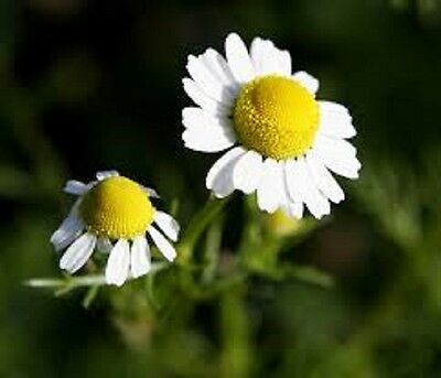 ORGANIC-HERB SEED GERMAN CHAMOMILE 50+vegetable Perennial fragrant great for tea