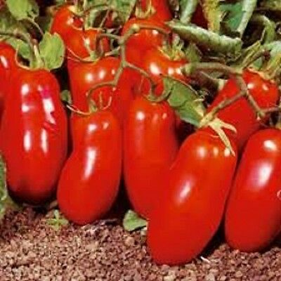 Heirloom Tomato Vegetable 25+Seeds-Polish Linguisa A meaty1lb delicious variety!