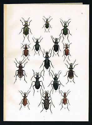 ca 1920 CARABUS BEETLES BUGS Antique Lithograph Print