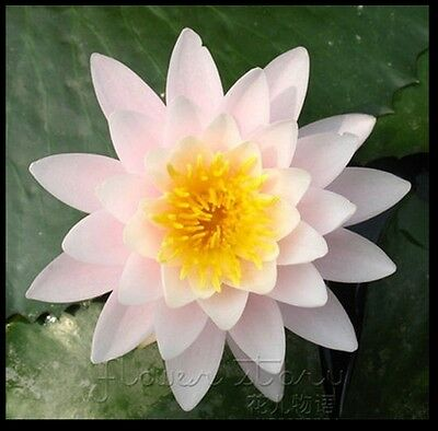 10 Seeds Pink Anemone China Lotus Pond Plants Seeds USA SHIP