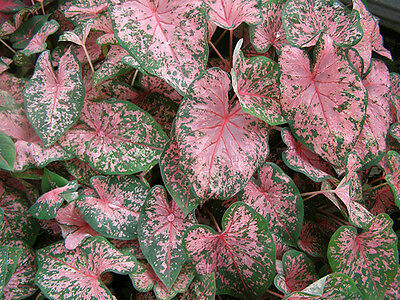 Caladium - Fancy Leaf - Pink Beauty - Lot of 10 Bulbs - Lovely Pink/Green Leaves