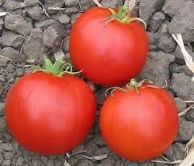 Heirloom Tomato Vegetable 25+ Seeds Wisconsin 55 Firm and sweet great preserver!