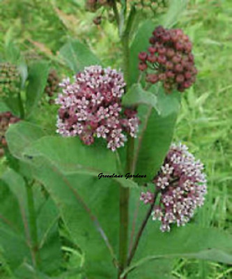 Organic Milkweed-100+seeds Perennial buy 2 GET 1 free-the-Monarch-butterfly!