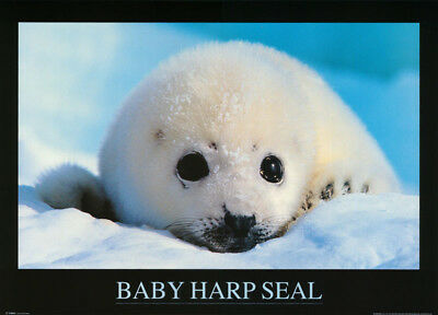 Poster:animal: Fish & Marine : Baby Harp Seal - Free Ship  #ph0027   Rw13 H