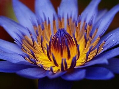 Egyptian Sacred Blue Water lily Nymphaea Caerulea 10 seeds Not lotus #1A58#