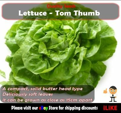 Lettuce Tom Thumb Mini Butt 100 Seeds Minimum. Vegetable Garden Plant. Pot Type.