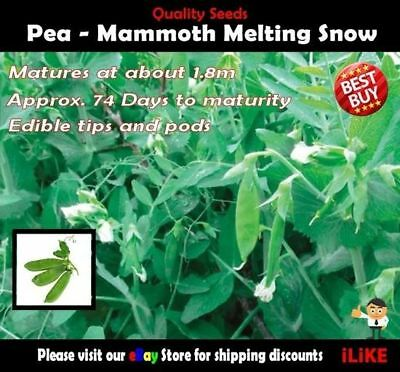 Pea Mammoth Melting Snow Pea 25 Seeds Minimum Vegetable Garden Plant. High Yield