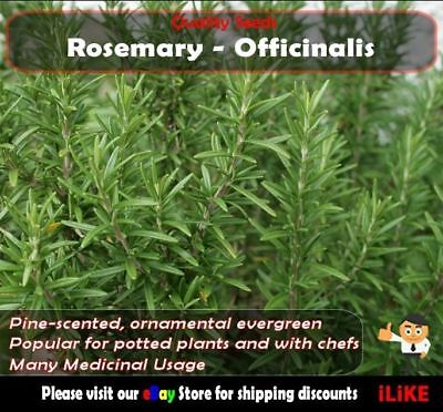 Rosemary Officinalis 20 Seeds Minimum Vegetable Garden Herb. Long Lasting.