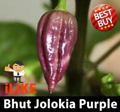 Bhut Jolokia/Ghost Pepper Chilli Purple 20 Seeds Plus. One Of The Worlds Hottest