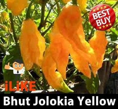 Bhut Jolokia/Ghost Pepper Chilli Yellow 20 Seeds Plus. One Of The Worlds Hottest