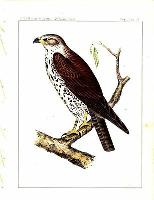 1859 Lithograph  BIRDS OF PREY - Hawk