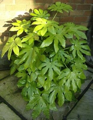 Fatsia Japonica (Japanese Aralia) - 20 seeds - Exotic looking yet very hardy!