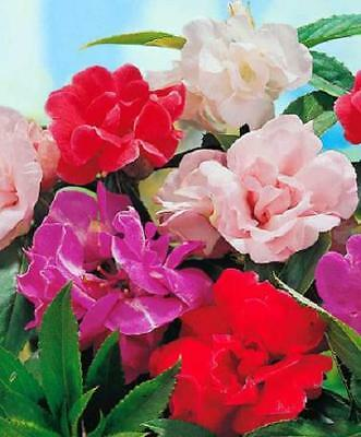 IMPATIENS Camellia Flowered Mix 30 seeds flowers annual