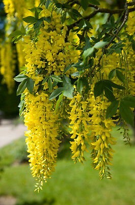 Laburnum anagyroides (Golden Chain) - Showy spring flowering tree - 30 seeds