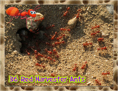 LIVE ANTS *36* Active Red Harvester Ants For Ant Farms-PLUS FREE ANT FOOD