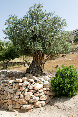 Olea europea (Olive) - 20 seeds. Excellent for Bonsai training.