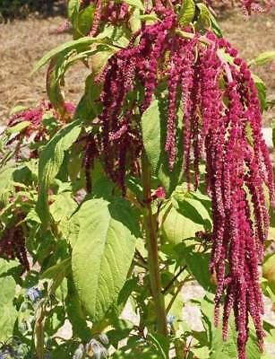 Love Lies Bleeding Seeds by Zellajake Many Sizes Amaranth Flower, Microgreens 86